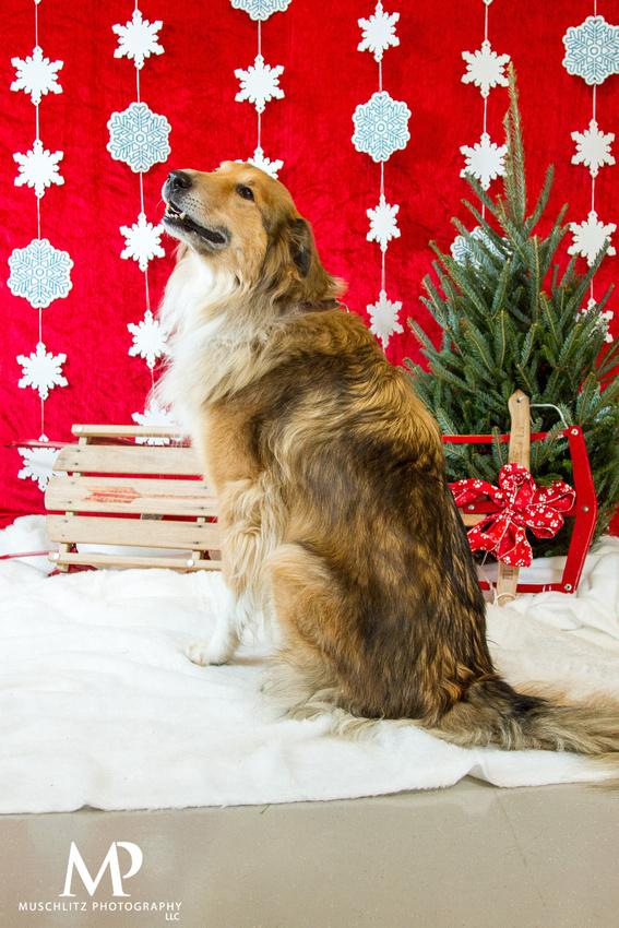Friends-of-the-Shelter-Howliday-Bazaar-dog-portraits-November-2014 - muschlitz-photography-columbus-ohio-franklin-county-dog-shelter